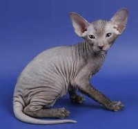 The Peterbald