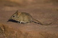 Crawford's ​Gray Shrew​
