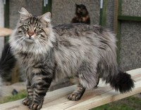 Norwegian ​Forest cat​