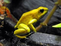 Golden ​Poison Frog​
