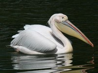 Great White ​Pelican​