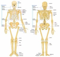 206 Bones of the Human Body