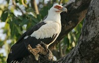 Palm-nut ​Vulture​