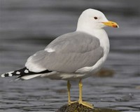 California Gull​