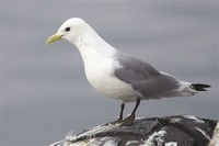 Black-Legged ​Kittiwake​