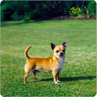 Smooth Coat Chihuahua