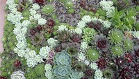 Hens-and-Chicks (Sempervivum Tectorum or Echeveria Elegans)