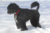 Portuguese ​Water Dog​