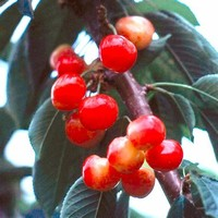 RAINIER (Sweet Cherry)
