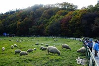 Daegwallyeong Sheep Ranch