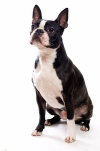 Boston Terrier​
