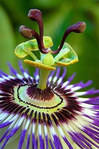 Passion ​Flower​