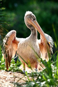 Pink-Backed ​Pelican​
