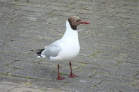 Brown-​Headed Gull​