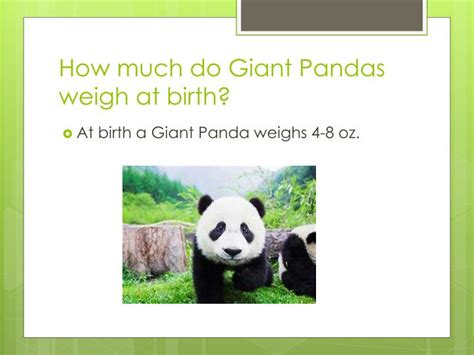 PPT - Giant Panda PowerPoint Presentation - ID:2278556