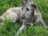 Irish ​Wolfhound​