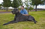 Great Dane​