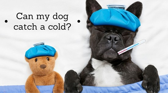 Can dogs catch a cold? - HudsandToke