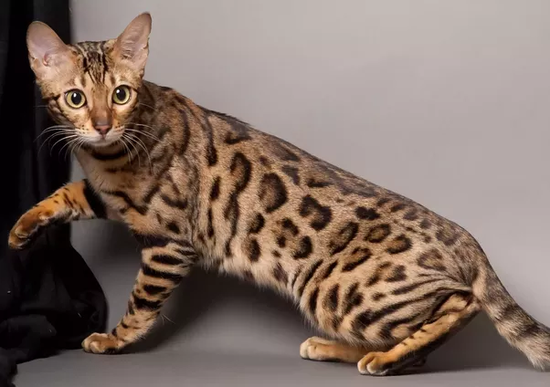 What do leopards look like? Which species of cats look ...