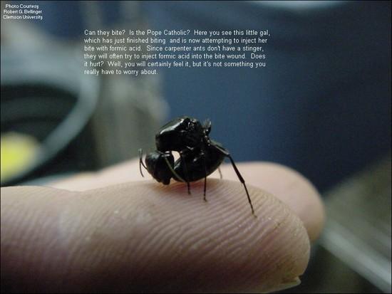 do black ants bite - 800×600