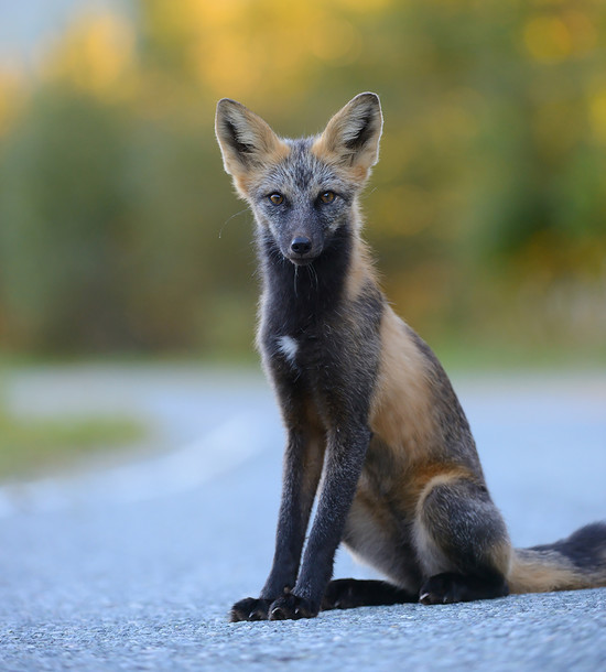 7 Of The Most Beautiful Fox Breeds You've Ever Seen