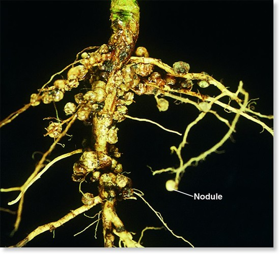 Opinions on Root nodule