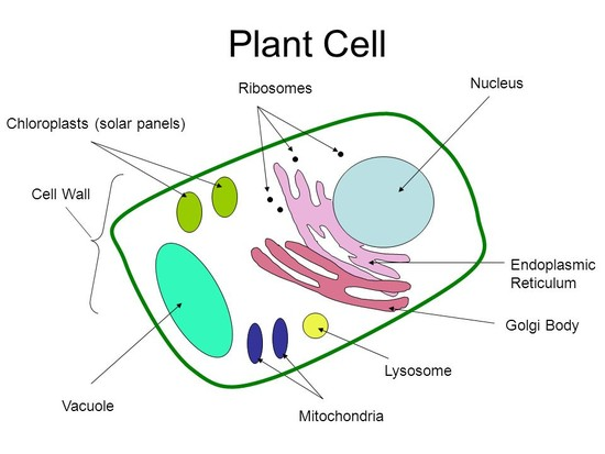 Parts of a cell Goal: Students will be able to describe ...