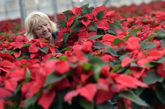 National Poinsettia Day 2013: Are Poinsettias Really ...