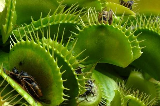 Venus Fly Traps eating Animals | Animals eating Animals