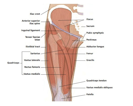 pics inner and outer thigh muscles - 600×480