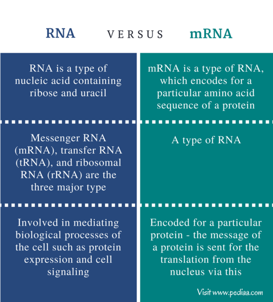 Difference Between RNA and mRNA | Definition, Types ...