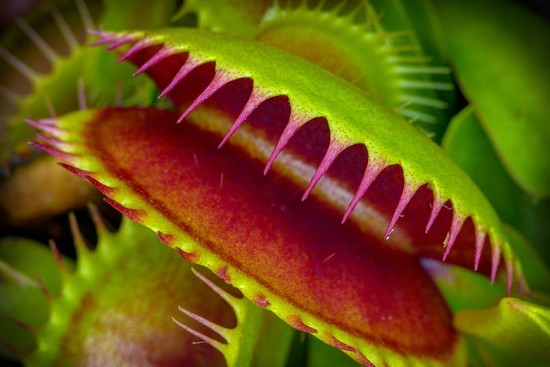 Venus Flytraps Are Even Creepier Than We Thought - The ...