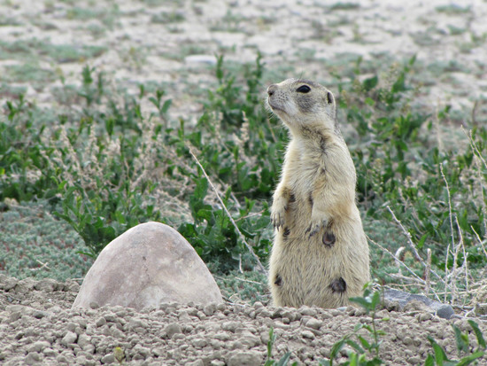 Prairie dog #9 | Looks like we have an active mother ...