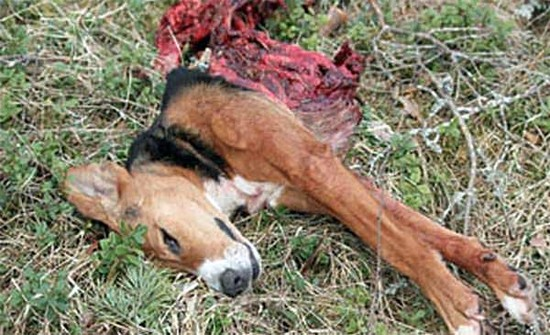 Wisconsin Wolf on Pet Dog Kills Growing - (Graphic Image)