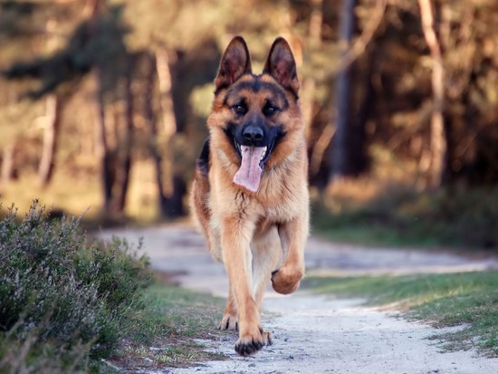 10 Reasons Why German Shepherd is a Good Family Dog | Pets ...