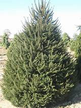 Norway ​Spruce​