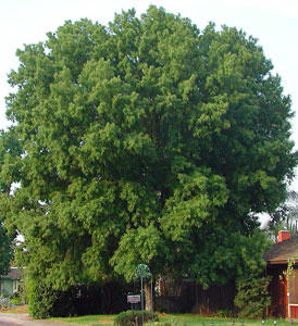 Silver Maple Tree. Fast growing, should never plant near ...