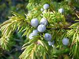 Common ​Juniper​