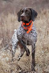 German ​Shorthaired Pointer​