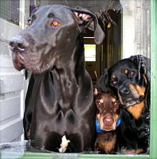 Doberman And Rottweiler Comparison | www.pixshark.com ...