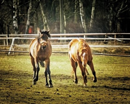 Differences Between Mares and Geldings | TheHorse.com