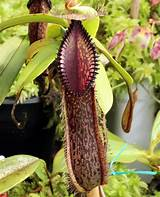 Nepenthes ​Hamata​