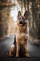 German ​Shepherd​