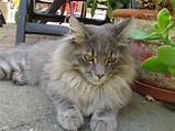 Maine Coon​