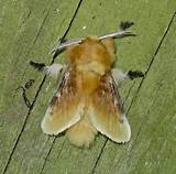 Southern ​Flannel Moth​